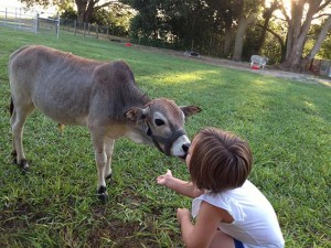Friendly Zebu