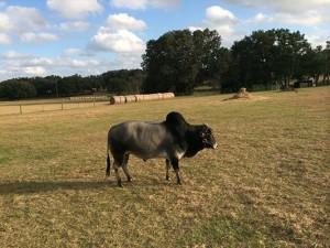 Miniature Zebu Bull